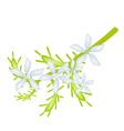 Cape Leadwort Flower or White Plumbago Flower vector image vector image