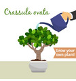 hand watering crassula ovata plant vector image vector image