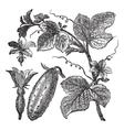Cucumber vintage engraving vector image vector image