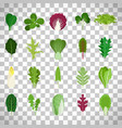 green salad leaves on transparent background vector image vector image