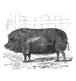 Essex pig vintage engraving vector image vector image