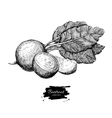 Beetroot hand drawn Vegetable engraved vector image