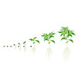 stages cannabis seed germination from seed to vector image