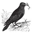 Jackdaw vintage engraving vector image vector image