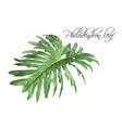 philadendron leaf vector image