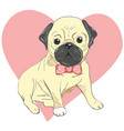 pug dog face - isolated on white background vector image vector image