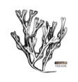 hand drawn fucus algae vector image
