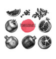 pomegranate ink sketch collection vector image vector image