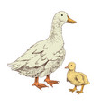 hand drawn domestick duck and duckling vector image