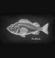 chalk sketch of rockfish vector image