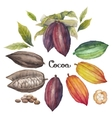 Watercolor cocoa fruit vector image