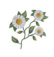 chamomile flower plant in white background vector image
