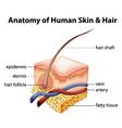 Anatomy Human Skin Hair vector image vector image