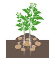 potato plant with leaves and tubers beginning to vector image