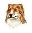 sheltieshetland sheepdog vector image