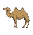 camel color sketch engraving vector image