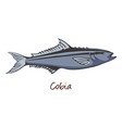 cobia color vector image