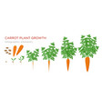carrot plant growth stages infographic elements vector image