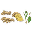 ginger root chopped rhizome fresh plant bag vector image vector image
