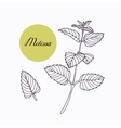 Hand drawn melissa branch with leaves isolated on vector image vector image