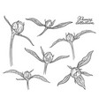 peony flower buds set hand drawn in lines black vector image
