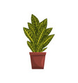 codicium indoor house plant in brown pot element vector image vector image