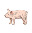 hand drawn piglet vector image vector image