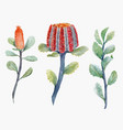 watercolor australian banksia set vector image