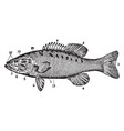 small mouthed black bass vintage vector image vector image