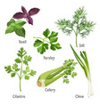 basil parsley and dill fresh cilantro stem of vector image