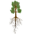 detailed oak tree with leaves trunk and root vector image