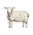hand drawn sheep vector image vector image