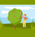 farmer man gathering apples from tree into basket vector image vector image