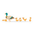 mother duck row wild ducks birds family vector image