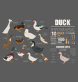 poultry farming infographic template duck vector image vector image