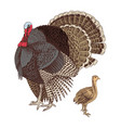 hand drawn turkey and poult vector image vector image