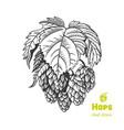 hops hand drawn vector image vector image