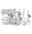 cow eating hay in barn vintage