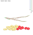 Centrosema Pubescens Pods with Vitamin B9 and K vector image vector image