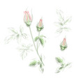 blooming rose awesome single flower and vector image
