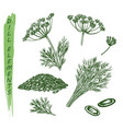 sketch dill plant herbs and spice seasoning vector image vector image