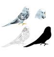 bird budgerigar parakeet blue pet parakeet vector image vector image