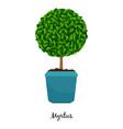 myrtus plant in pot vector image vector image