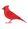 red cardinal bird on a white background vector image vector image
