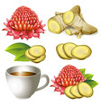 set of ginger root with flower and teacup vector image
