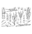 sugar cane vintage sketch set on white vector image