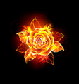 Blooming fire rose