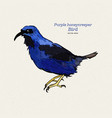 purple honeycreeper is a small bird in the vector image vector image