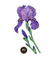 beautiful iris flower on white background vector image vector image