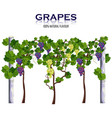 grapes vine isolated on white growing vector image